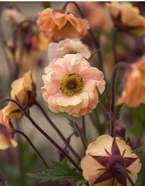 Benoite 'Mai Tai' - Geum - Le Jardin du Pic Vert - Flowers in the world - bepflanzung Love Flowers, Wild Flowers, Beautiful Flowers, Garden Shrubs, Garden Plants, Mai Tai, Herbaceous Border, Hardy Perennials, Plantation