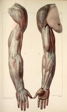 Inspirational Artworks: ANATOMY IMAGES  arms muscles anterior, posterior: