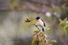 #nature ノビタキ African Stonechat by granheime1188g