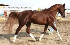 Image result for images of Arabian horses