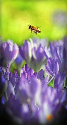With a purple sea of freshly-blooming crocus, a lone bee hovers above his early spring choices in Walla Walla, Wash., March 7, 2012. Warmer than average temperatures brought both the beauty of flowers and the beast of bugs out in full force. (Jeff Horner/Walla Walla Union-Bulletin)