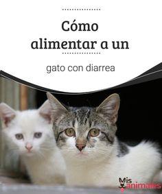 Cómo alimentar a un gato con diarrea  Entérate en este artículo todo lo que tienes que saber y hacer si tienes un gato con diarrea. Consejos, dietas y muchos más datos de interés. #alimentos #consejos #cuidados #salud