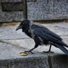 Lord of the Ring. (Raven with ring. Raven Bird, Quoth The Raven, Crow Bird, Love Birds, Beautiful Birds, Animals And Pets, Cute Animals, Jackdaw, Crows Ravens