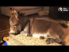 Tiny Donkey Thinks He's Actually A Dog | The Dodo - YouTube