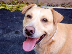 TO BE DESTROYED 11/18/14- Manhattan Center   MACHIAVELLI - A1019911  *** EXPERIENCED HOME ***  MALE, TAN / WHITE, GERM SHEPHERD MIX, 4 yrs STRAY - STRAY WAIT, HOLD RELEASED Reason STRAY