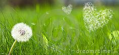 Dandelion Form A Flying Seeds In Hearts Form - Download From Over 47 Million…