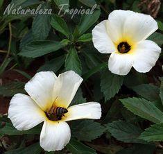 Abeja polinizando flor de la planta Turnera de Ojos Pardos, Turnera subulata