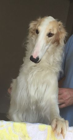 "Clever Borzoi named ""Hagrid"". #animals #dogs"