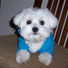 maltese hair cut