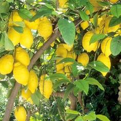 Citrus Tree - Lemon Eureka - Suttons Seeds and Plants