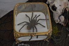Tarantula in an Ormolu Casket (Halloween Oddities)