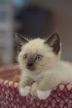 Siamese Kitten. So cute <3