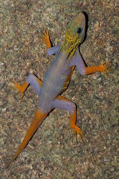 New Species Identified: Psychedelic Gecko (Cnemaspis Psychedelica) | © L. Lee Grismer.