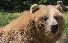 Bear at Olympic Game Farm, Washington