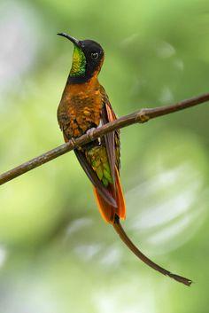 Foto beija-flor-brilho-de-fogo (Topaza pella) por Thiago Calil | Wiki Aves - A Enciclopédia das Aves do Brasil
