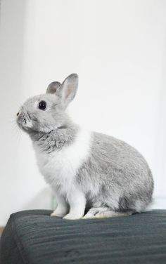 Hello Yummypets !! #cute #bunny #rabbit #grey #white #animal #pet Discover more photos HERE => http://www.yummypets.com/pic/2283984