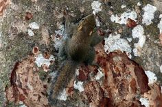 Least pygmy squirrel - Wikipedia