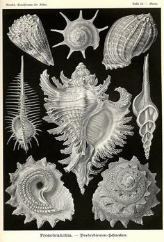 illustration Vintage illustration by Ernst Haeckel. Art Prints, Patterns In Nature, Drawings, Scientific Illustration, Natural Form Art, Art Forms, Art, Vintage Illustration, Drawing Accessories