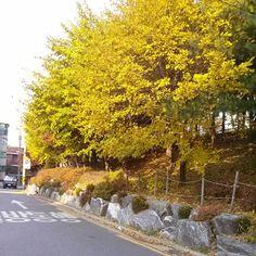 .@mingg909 | #그라데이션 #자연 #단풍 #은행나무 #예쁨 #예쁜길 #골목 #집앞 #밥아저씨머리나무 | Webstagram