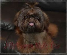 pictures of adult dark brown imperial shih tzu - Bing Images