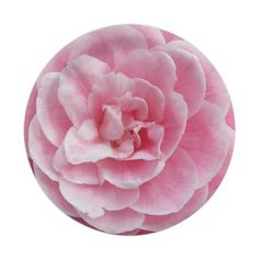 Pink Camellia 7 Inch Paper Plate #partyideas #partysupplies