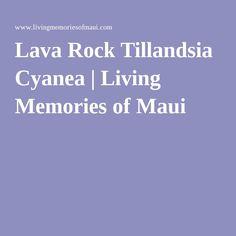 Lava Rock Tillandsia Cyanea | Living Memories of Maui