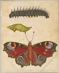 Peacock butterfly (Inachis io), caterpillar, and pupa