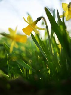Daffodil in #spring, #easter #bloom