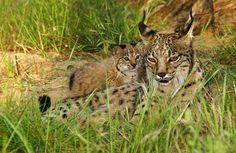 Can We Save the Iberian Lynx
