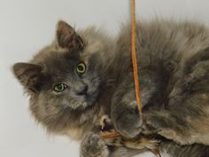 Geneviere is an adoptable domestic long hair searching for a forever family near Warminster, PA. Use Petfinder to find adoptable pets in your area.