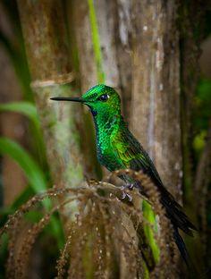 **Green-crowned Brilliant hummingbird, Caribbean slopes, by Rikk Flohr