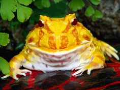 Love this yellow frog!