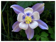 Rocky Mountain Columbine - Colorado state flower