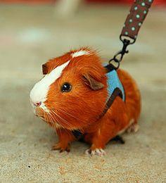 First pet when I move to place that's pet friendly .. my guinea pig Phillip J. Fry.