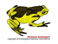 Artelopus boulengeri is endemic to Ecuador from 900 to 2,000 meters elevation along the Cordilleras de Cutúcu and Cóndor. Male harlequin fro...