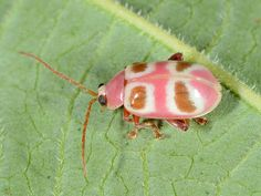 The insect world also have a claim to beauty. If you do not believe us just think of butterflies. Check out these Beautiful Pictures of Insects. Leaf Beetle, Beetle Bug, Pink Beetle, Beetle Insect, Bug Insect, Reptiles, Lizards, Cool Insects, Bugs And Insects
