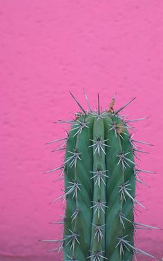 plants on pink - green cactus on pink wall Fred Instagram, Plants Are Friends, Cactus Y Suculentas, Pink Walls, Cacti And Succulents, Cactus Planters, Cactus Art, Cactus Flower, Belle Photo