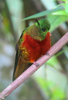 Chestnut-breasted Coronet is found in the highlands of northwestern South America in Columbia, Ecuador and Peru.