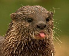 Otter gives you the raspberry