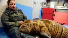 """""""Baby walruses are hyper-social and love to be touched. They're obsessive spooners."""" >> New favorite animal? I think yes."""