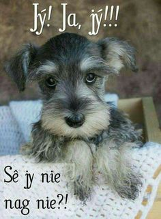 Schnauzer dog breed is originated from Germany. 20 Reasons To Never, Ever Adopt A Schnauzer Dog Breed Miniature Schnauzer Puppies, Schnauzer Puppy, Schnauzers, Black Schnauzer, Schnauzer Grooming, Standard Schnauzer, Photo Animaliere, Photo Chat, Beautiful Dogs