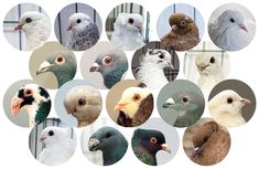 Inherited characteristics that vary in pigeons: genetics at work