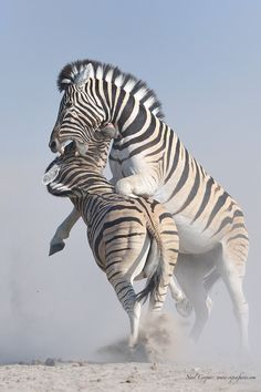 .    Zebra battle   Photo by Neal Cooper