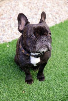 French bulldog (Look by Lainey1, via Flickr)