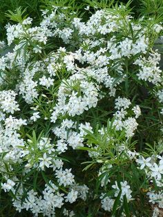 Choisya Ternata 'Aztec Pearl'. Mexican Orange blossom. Native to Mexico. Sun or part shade. Have this in my front garden. Flowers May.