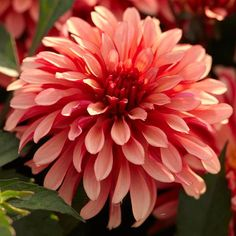 Gallery Art Deco #Dahlia - Art Deco's #flowers are a sunset blend of coral pink, apricot and red. The paddle-shaped #petals are different lengths, which gives the #blossoms a casual charm. At 2 feet tall, theses self-supporting #plants are the perfect size for the mid-zone of a #flower bed or a large #container garden.