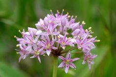 ALLIUM stellatum - Ail étoilée - Prairie Onion floraison : Août à Septembre Hauteur : 30 cm / 12 à 45 cm / 18 Espacement : 15 cm / 6 Caractéristiques :          Sol : Bien drainé - Caillouteux - Caillouteux  Zone(s) : 3 - 4 - 5 - 6   Allium stellatum forme une touffe de feuilles étroites,linéaires et aplaties et porte des fleurs étoilées rose lilas réunies en ombelle semi-globulaire. Tiges florales érigées et dépourvues de feuilles qui dépassent légèrement le feuillage.