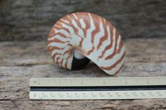 Beautiful white and brown tiger stripe baby 4-5 chambered whole nautilus shell. Perfect for beach wedding or home decor! This lovely shell looks beautiful displayed on a bookshelf.  You will receive one 4-5 tiger stripe nautilus similar to the picture above.  ***WE PACKAGE VERY CAREFULLY FOR SHIPPING***  Please note Ready to Ship by processing time for this item under Shipping & Policies. Shipping prices vary by zip code and are calculated by weight.  Shipping Delivery Options (this does...