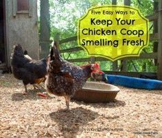 chicken coop freshness in five easy steps.  There's no reason to hold your nose in the chicken coop! Chicken Coup, Best Chicken Coop, Chicken Coop Plans, Building A Chicken Coop, Chicken Runs, City Chicken, Chicken Life, Chicken Tractors, Fresh Chicken