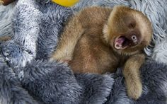 A baby two-toed sloth yawns at the Aiunau Foundation in Caldas,  south of Medellin, Colombia